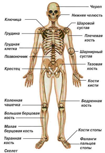 Скелет-основа основ человеческого тела