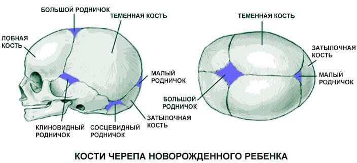 Закладка скелета и череп новорожденного